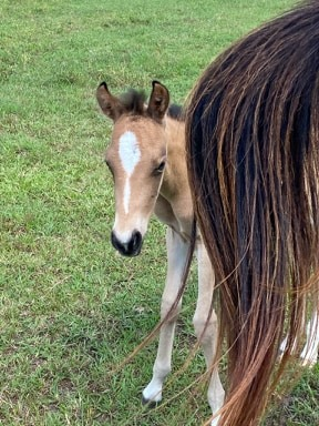 Filly born 5.2.2020  Pitkin , Louisiana